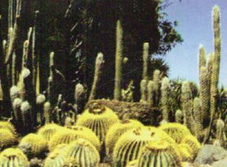 Cactus Gran Canaria, cactus